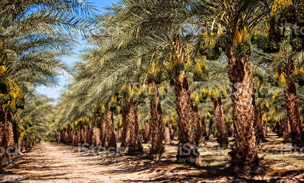 Date Palms in Mecca stock photo