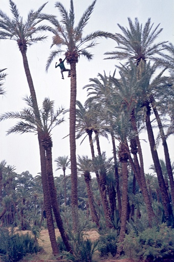 Morocco, 1976. Date palm oase.