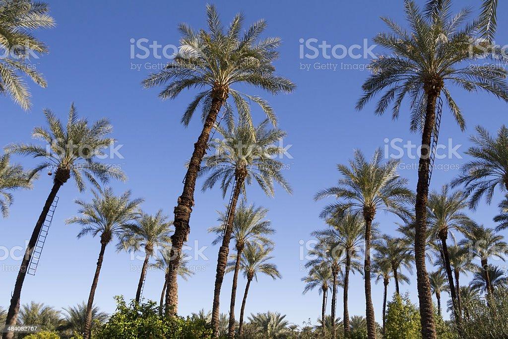 Date Palms stock photo