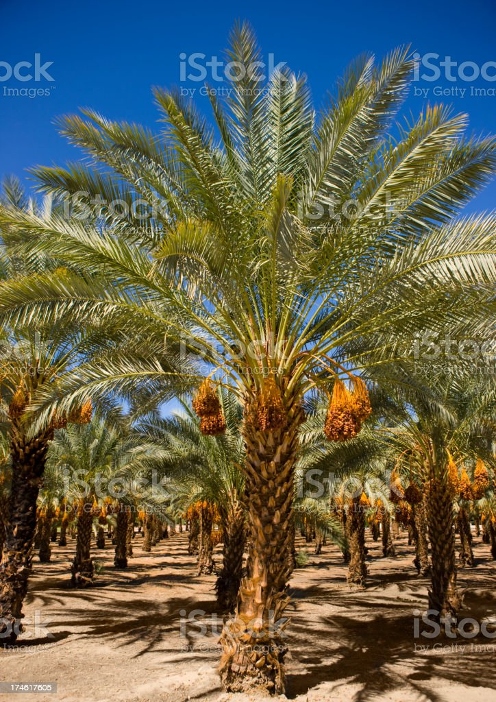 Dates Growing in Trees stock photo