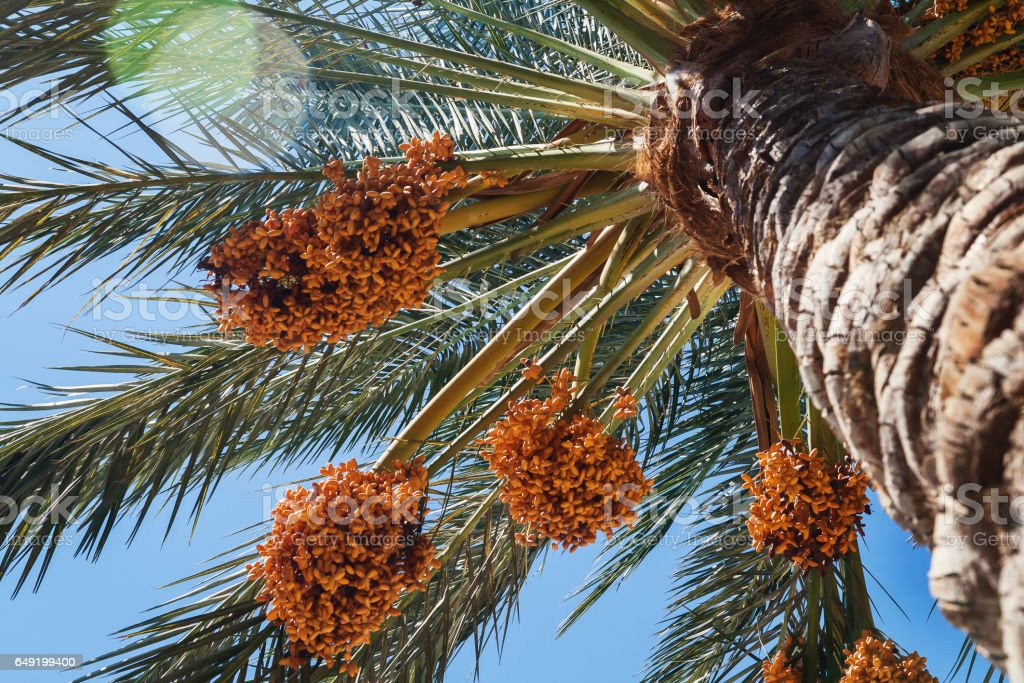 Dates on a palm tree against the blue sky, close-up stock photo