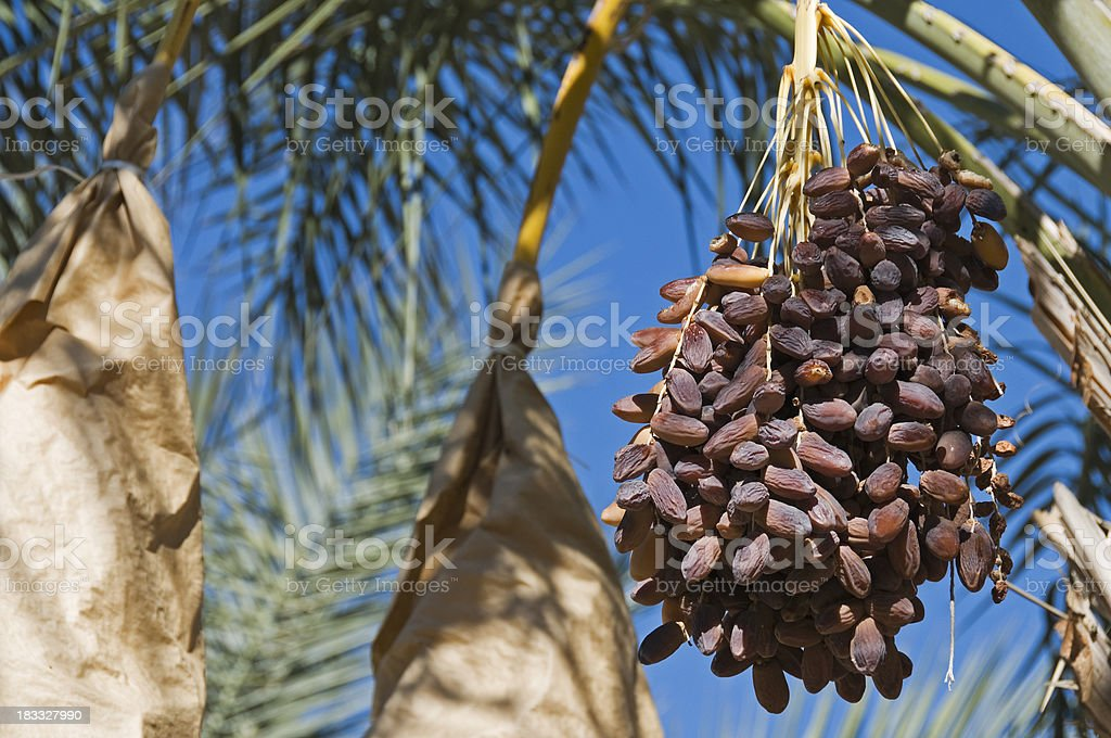Dates ready for harvest stock photo