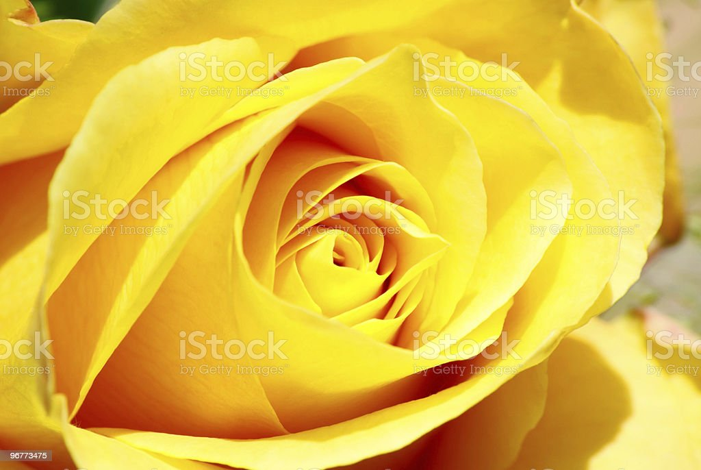 datils of a rose stock photo