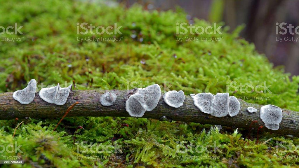 datronia mollis crust fungus stock photo