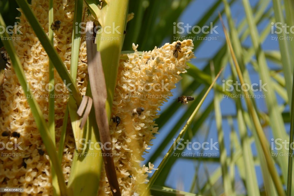 Dattelpalme mit Bienen in Spanien foto de stock royalty-free