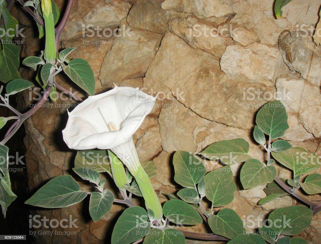 Datura metel stock photo