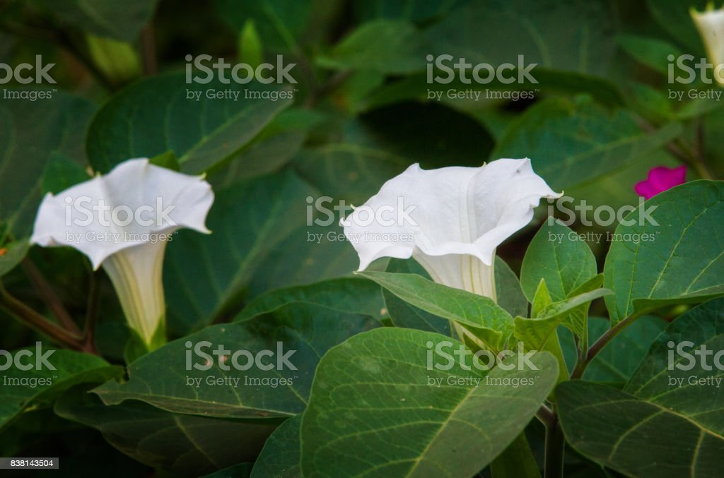Datura stock photo