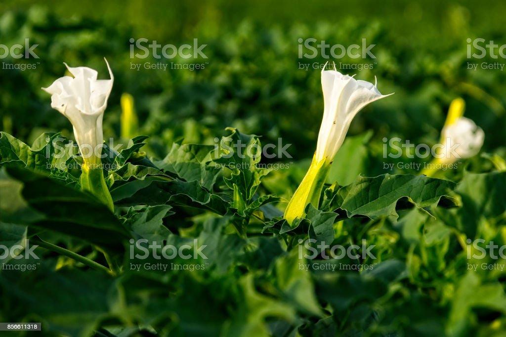 Datura plant stock photo