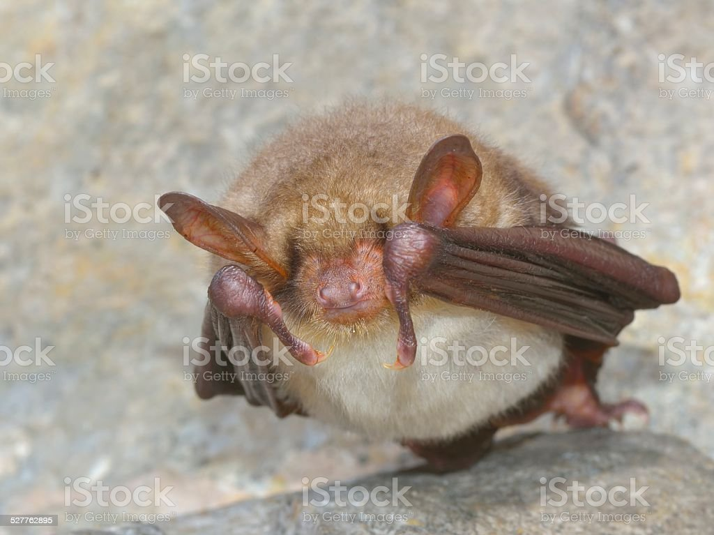 Daubenton's Bat (Myotis daubentonii) stock photo