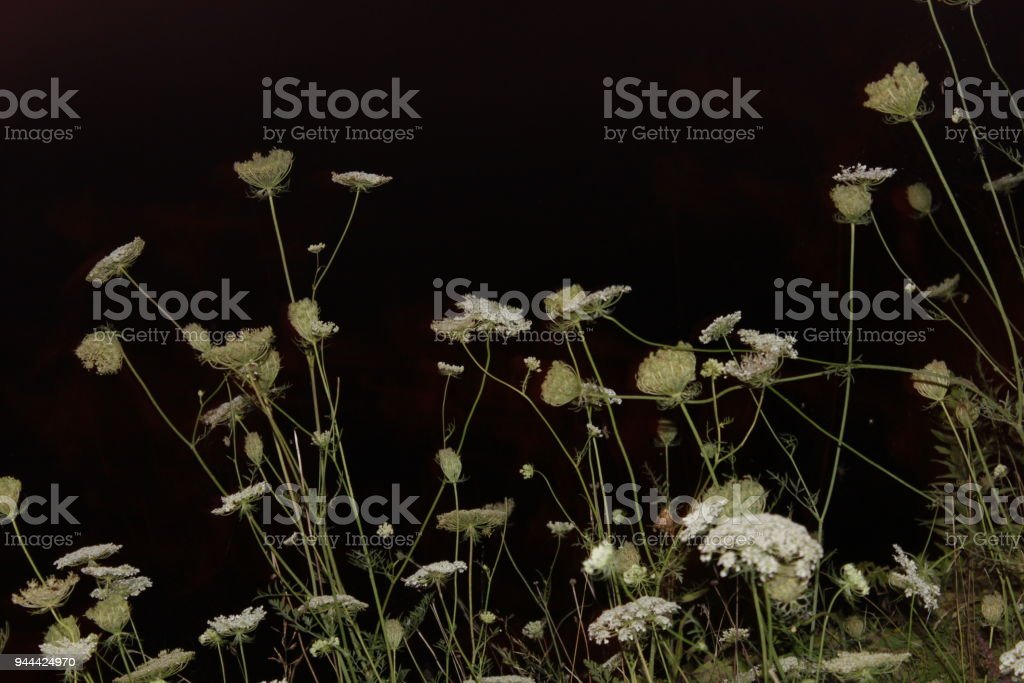 Daucus Carota Flower stock photo