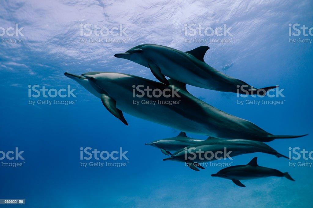 Dauphins à long bec en famille stock photo