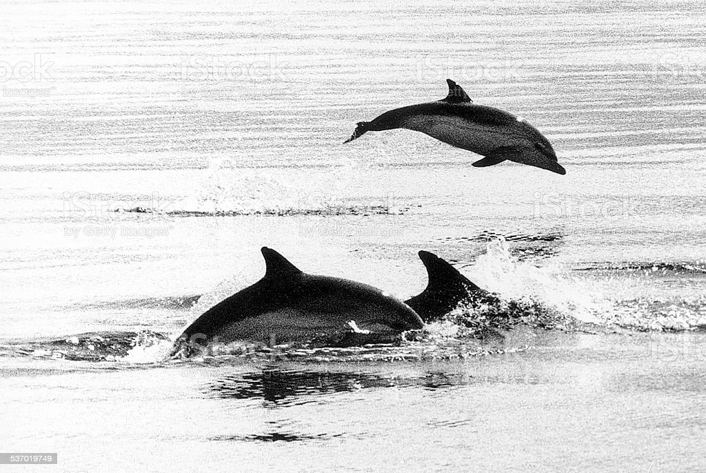 dauphins stock photo
