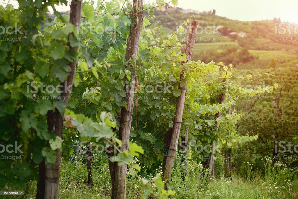 Dawn at the vineyard - Photo