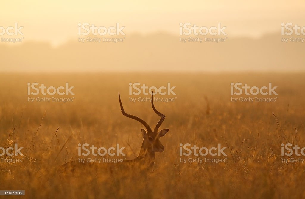 Dawn Impala stock photo
