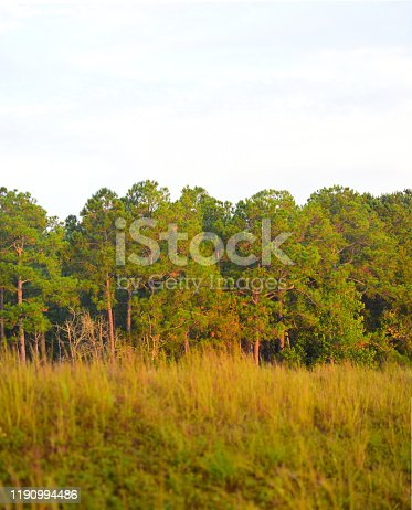 Morning light on dense pine forest with seeding grasses on hill filling lower half of frame. Photo taken at Blackwater River State Forest in Northwest Florida. Nikon D750 with Nikon 105mm macro lens