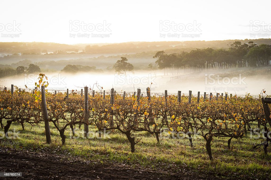 dawn in the vineyards Western Australia 2015 Stock Photo