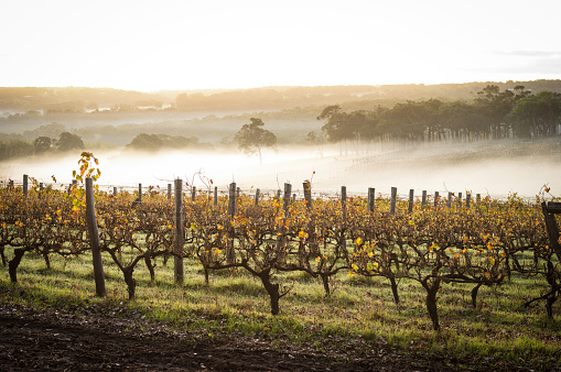 Dawn In The Vineyards Stock Photo - Download Image Now