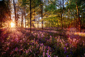 istock Dawn light shines through bluebell forest 1211719406
