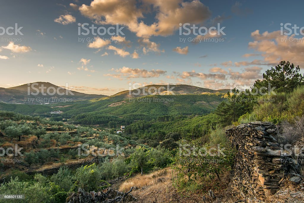 dawn on a landscape of olive trees stock photo