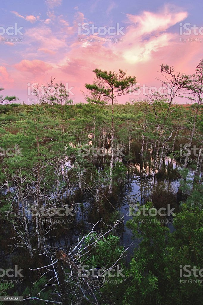 dawn over cypress forest in everglades royalty-free stock photo