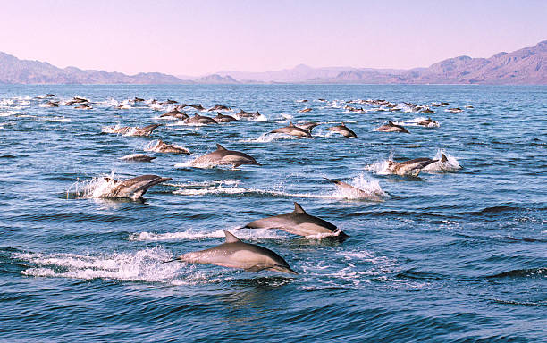 Dawn Patrol  dolphin stock pictures, royalty-free photos & images