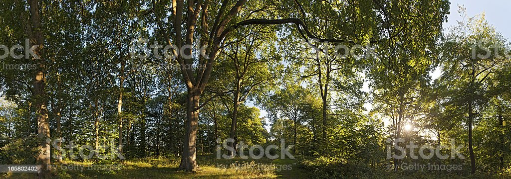 Dawn sun illuminating tranquil green summer forest trail royalty-free stock photo