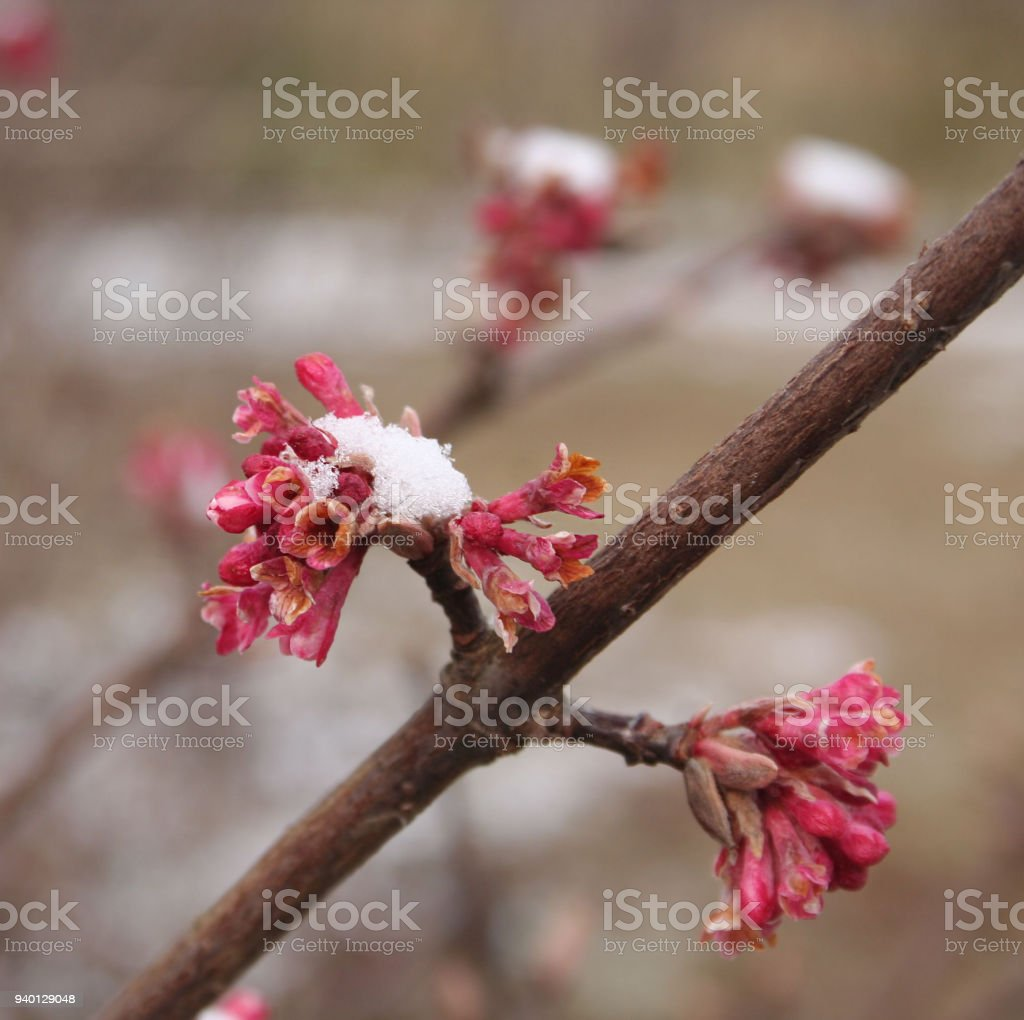 Dawn Viburnum Bush With Pink Flowers Covered By Snow Stock Photo