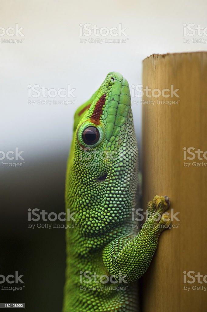 Taggecko – Foto