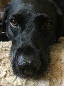 Black Labrador chilling, old, close up