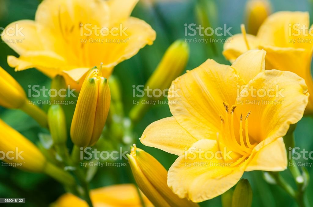 Day Lilies in a Summer Garden in Michigan stock photo