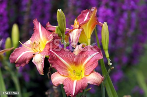 Day lilies.Please see more similar pictures of my Portfolio.Thank you!