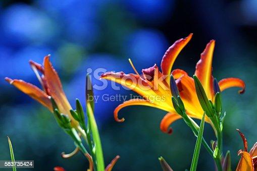 Day lilies, Germany, Eifel.
