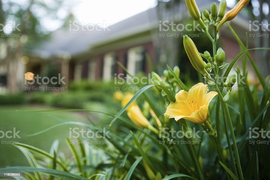 Day Lillies in Bloom royalty-free stock photo