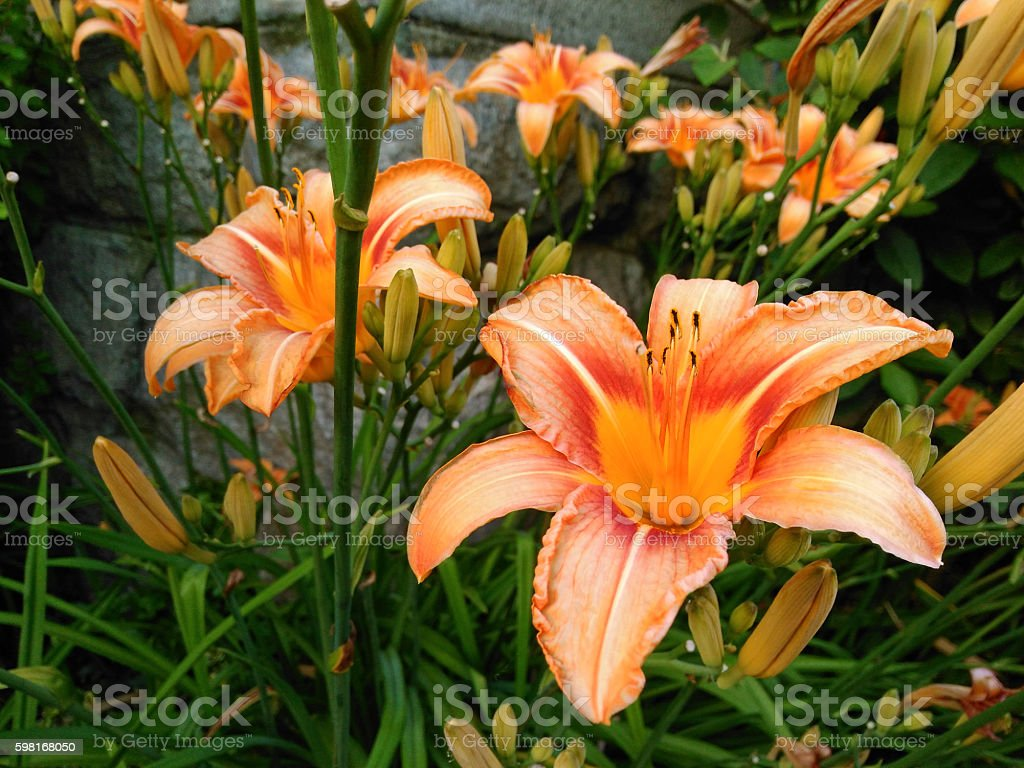 day lily flowers stock photo