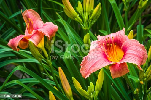 Day lilies bloom in a Cape Cod garden with many buds ready for progressive blooms.