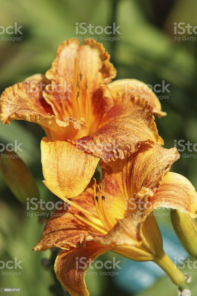 Day Lily Golden royalty-free stock photo