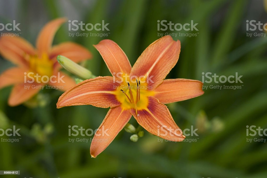 Day Lily royalty-free stock photo