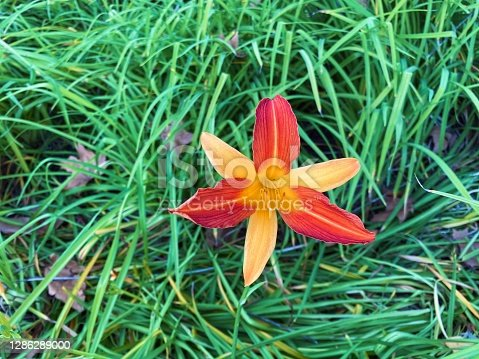 Photo of a day lily, orange, yellow and red, with the background of green grass. Hemerocallis fulva.