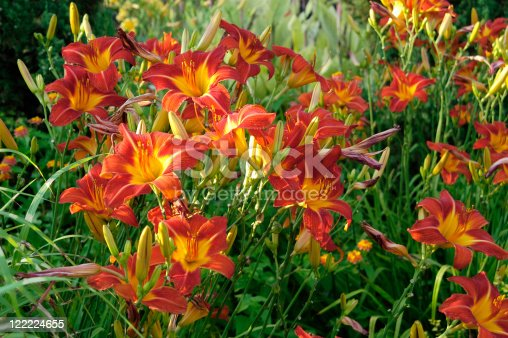 Daylilies Captured in Brilliant Summer Evening Light