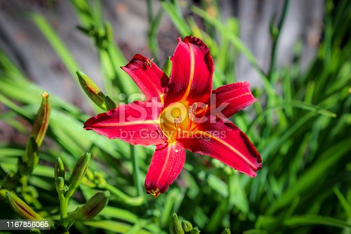 Beautiful lilly blooming red and yellow