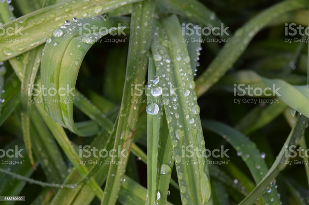 Daylily blades with water droplets stock photo