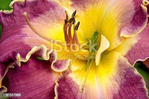 Extreme closeup of green cricket inside yellow throat of flowering daylily with purple ruffled petals (Hemerocallis 'Kingdom Without End').