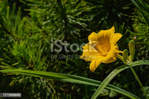 Daylily flower Hemerocallis hybrida Stella de Oro on bank of pond. Yellow petals of lily flower on blurred background of green leaves in garden. Selective focus. There is place for text.