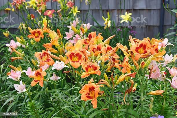 Daylily garden picture id89445033?b=1&k=6&m=89445033&s=612x612&h=4z7uamrmo76dmlshcnbfgxfvxkarig3yxl6z9ld fk4=