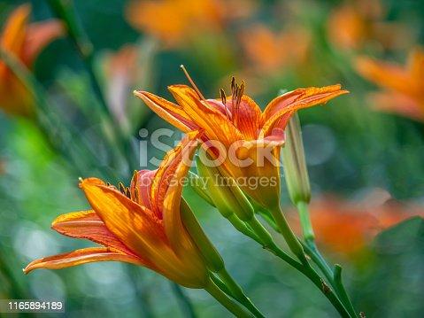 daylily, flower, plant,Hemerocallis
