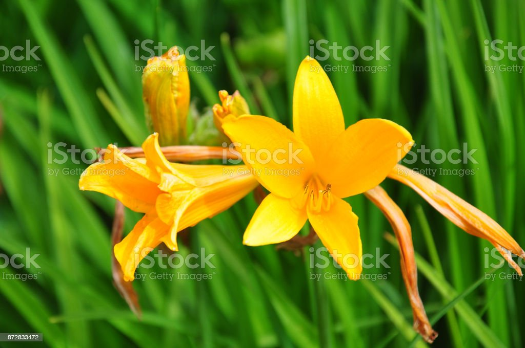 Daylily (Hemerocallis esculenta) stock photo