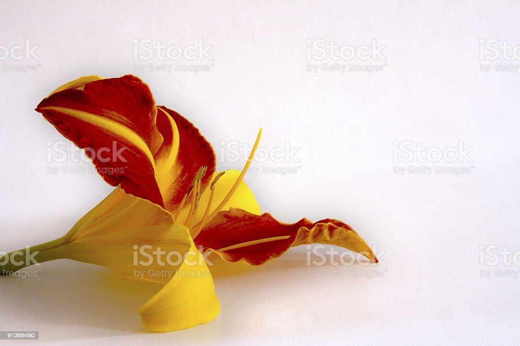 Daylily (Hemerocallis) royalty-free stock photo