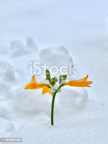A yellow daylily pokes out through the snow