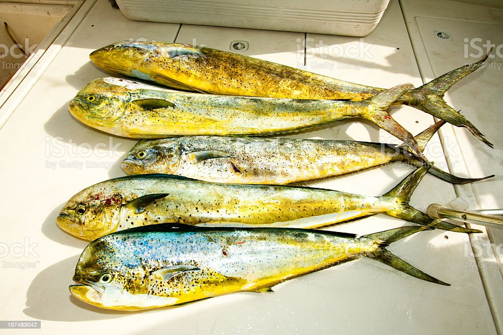 Day's Catch of Dolphin fish, MahiMahi or Dorado stock photo