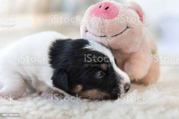 Days old jack russell puppy dog is sleeping next to his pink lucky picture id982788494?b=1&k=6&m=982788494&s=612x612&h=uwreo0g 0kgozouzsmvij1t7 xiw 6u8w0dnub0qvn0=